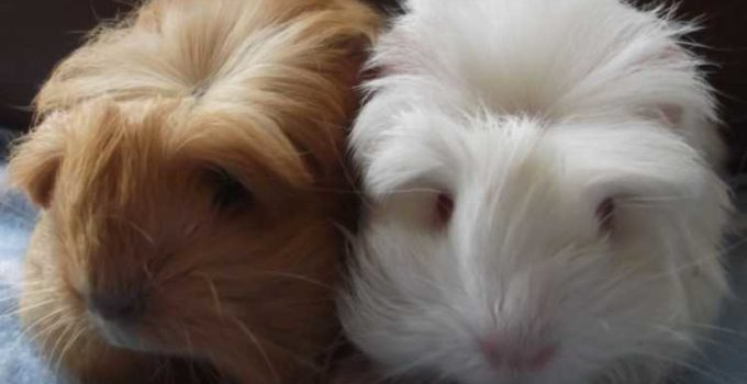 Hairy guinea pig photo once