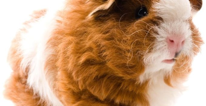All You Need To Know About Breeding Texel Guinea Pig Sleevely