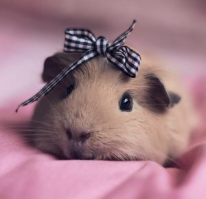 100 Cute Guinea Pig Names Pictures Videos Along With
